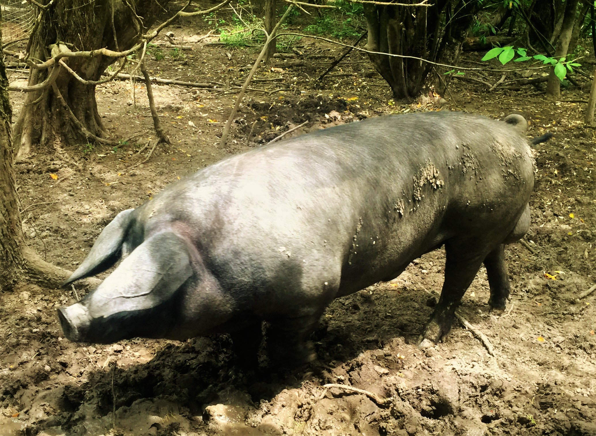 A large black boar at Meadowlark farms