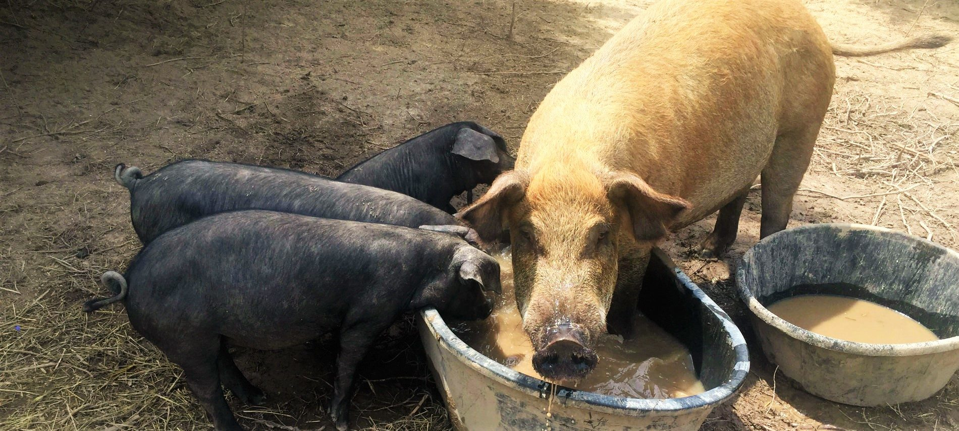 A mama pig and three babies at a trough
